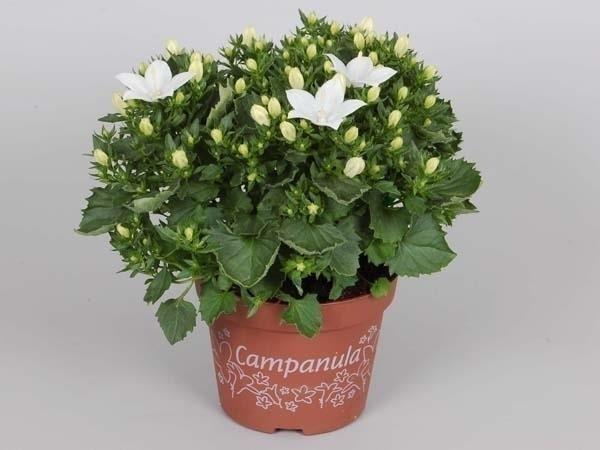 Комнатное растение с мелкими белыми цветами