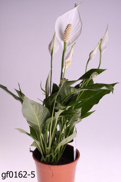 Цветок женское счастье: как ухаживать что бы цвел и не желтели листья