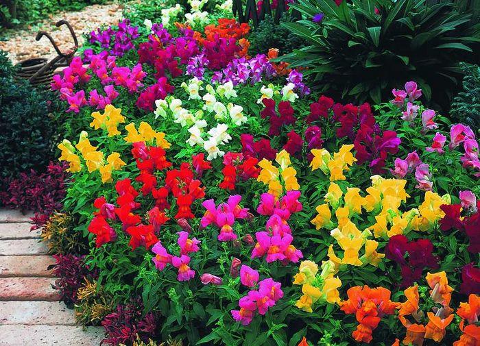 Сорта цветов для дачи фото