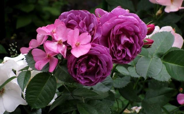 Розы и пионы королевские цветы