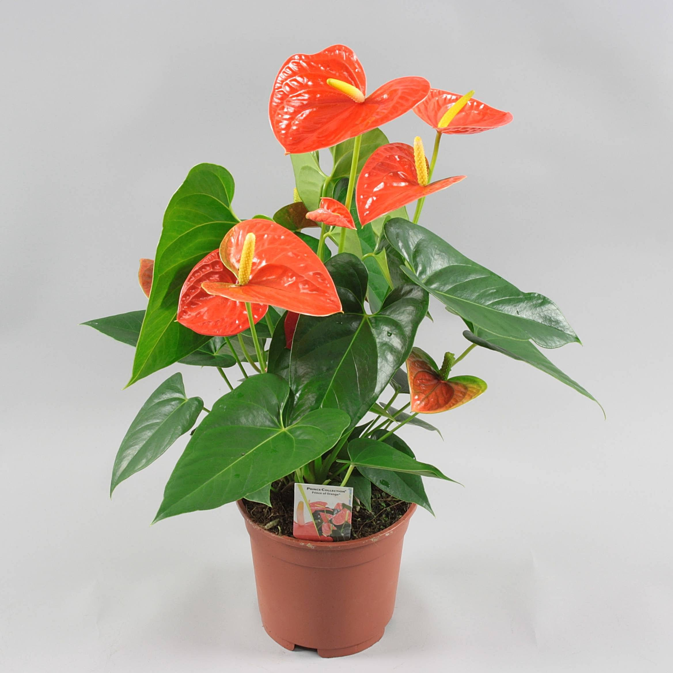 Антуриум ампельный цветок