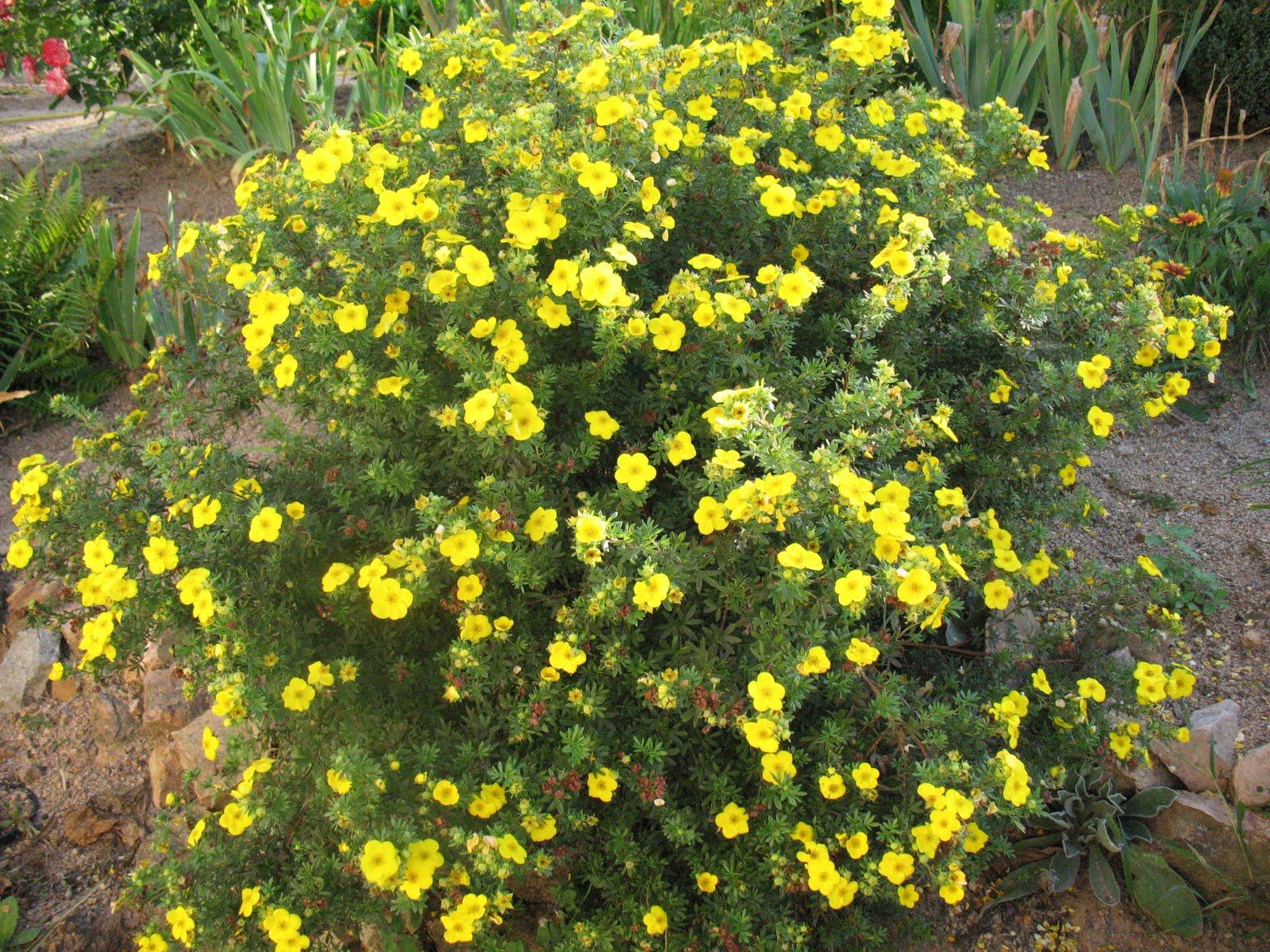 Декоративные кустарники цветущие желтыми цветами